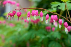 Branch of Pink and White Bleeding Hearts