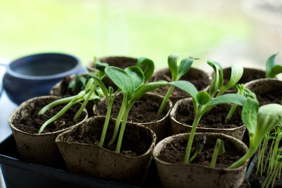 Vegetable Sprouts in Peat Pots