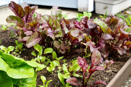 Beet Greens and Lettuce