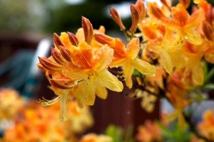 Bright Orange Azaleas