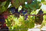 Purple and Green wine grapes on a vine