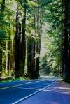 Redwoods along roadway