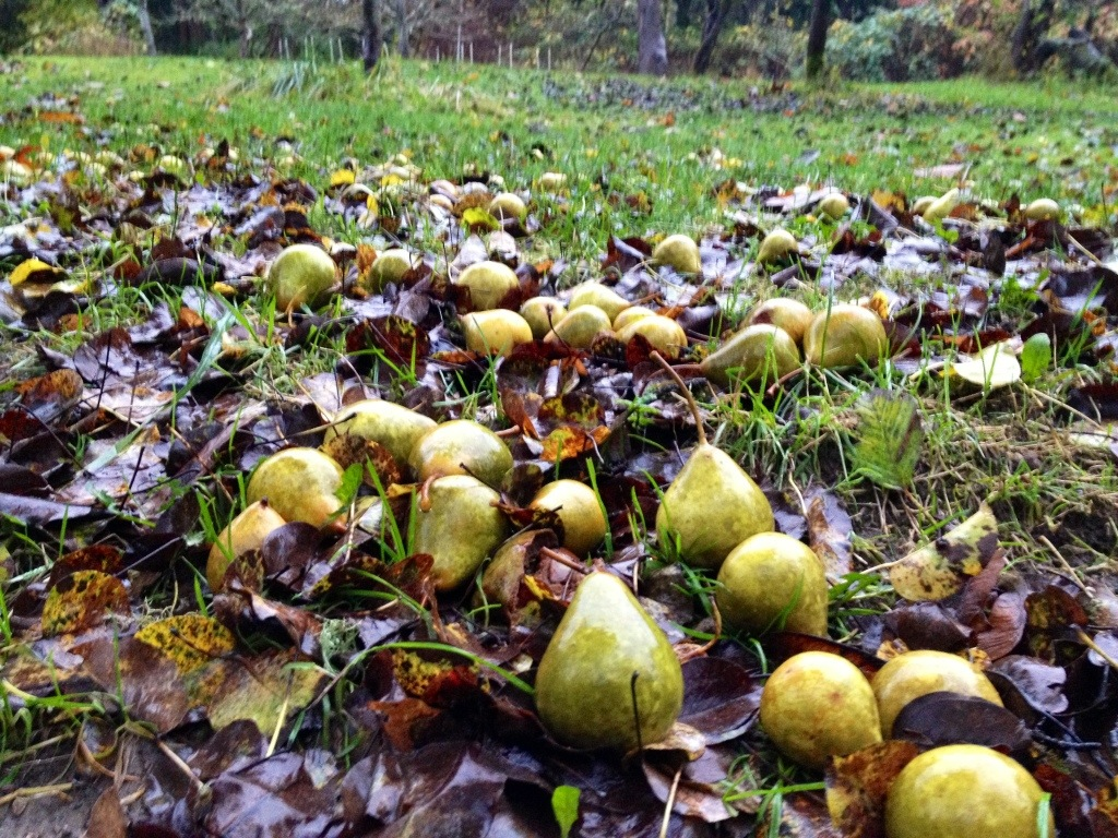 fallen fruit - pears