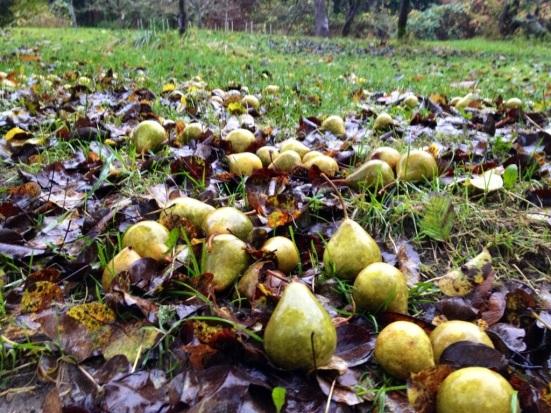 fallen fruit - pears
